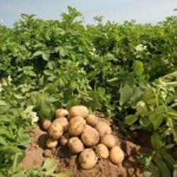 Чим відрізняється вирощування ранньої картоплі від інших сортів