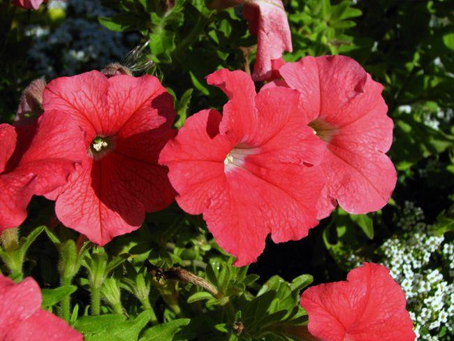 Підживлення петуній під час цвітіння