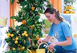 догляд за мандариновий деревом