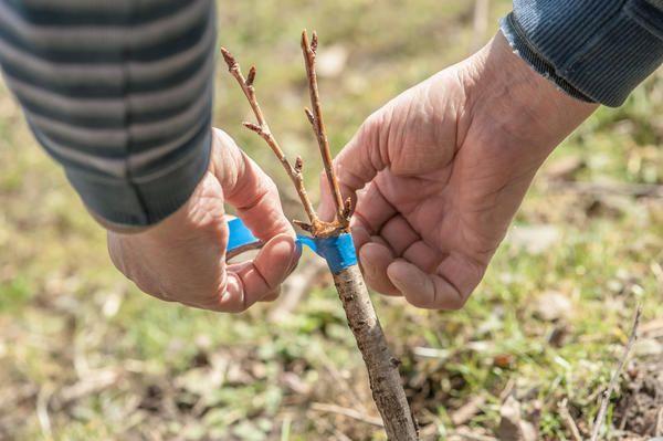 Що садівникові потрібно знати про щеплення