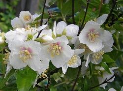 Бузок - ароматний і невибагливий садовий житель