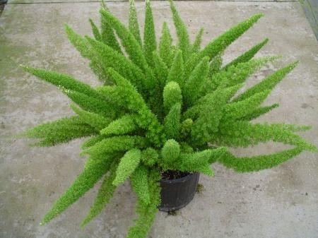 Чудове рослина - аспарагус густоцветковий