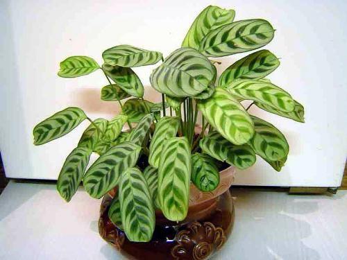 Диво та й годі листя калатеї