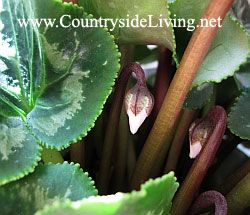 Цикламен домашній (перський). Cyclamen persicum