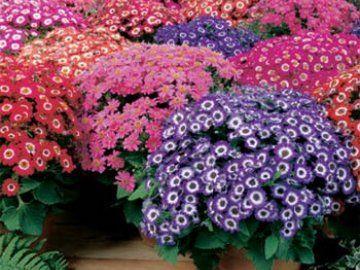 Цинерарія кривава вирощування і догляд