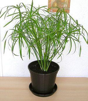 Циперус папірус - трав`яниста забавне рослина в будинку