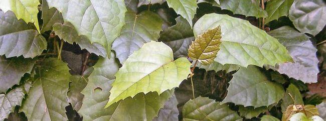 Циссус: опис рослини, основний догляд за циссуса, розмноження циссуса, пересадка