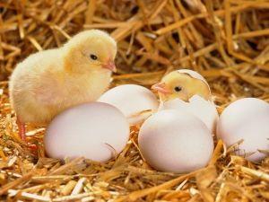 Зміст і розведення курчат бройлерів на присадибній ділянці і в домашніх умовах