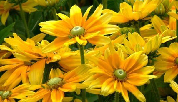 Колір клумби - жовтий: формування і посадка рослин