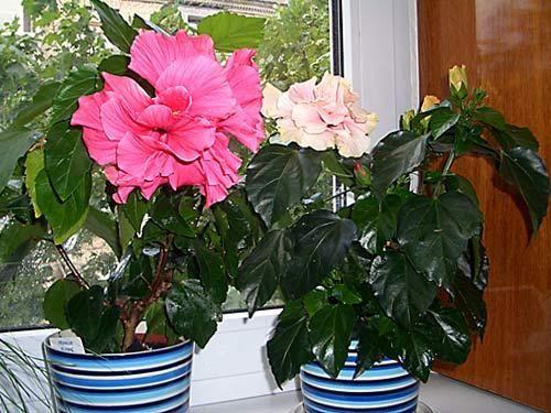 Цвітіння гибискуса - визначна подія у вашому будинку