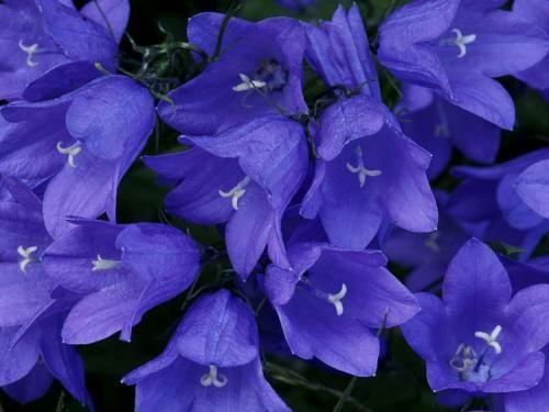 Квітки дзвіночки в картинках або як прикрасити свій будинок
