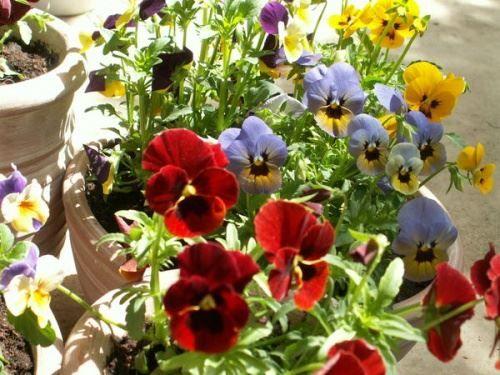 Квітники, клумби і рабатки з однорічників