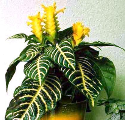 Квітка афеландра - примхливий, осінній колосок в вашому домі