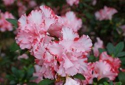 Квітка азалія, оповитий таємницею