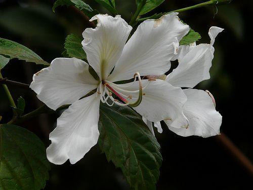 Квітка-метелик баухинія