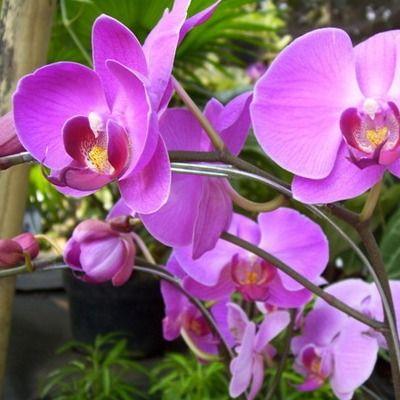 Квітка фаленопсис: правила догляду і профілактика хвороб