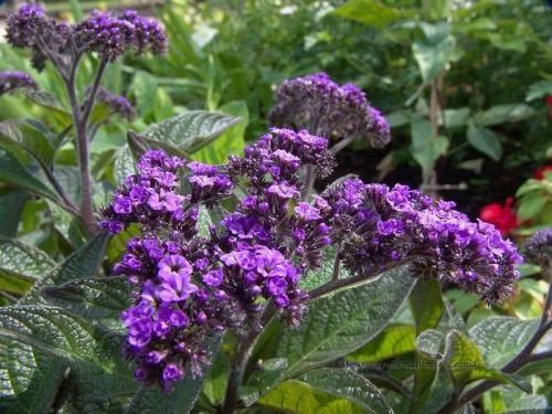 Квітка геліотроп - запашне прикраса саду