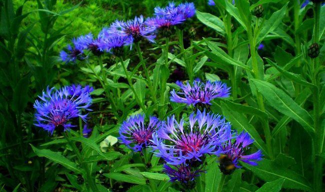 Квітка і приправа в одній особі: вирощуємо монарду у відкритому грунті