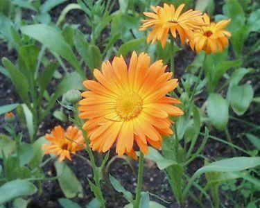 Квітка календули і догляд за ним
