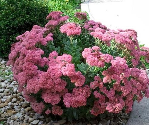 Квітка очиток - універсальна рослина для декору саду