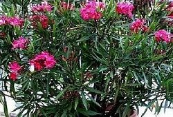 квітка олеандр