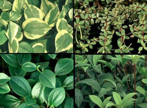 Квітка пеперомія, догляд і розмноження