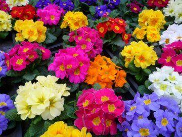 квітка примула фото