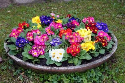 Квітка примула - ключики від райських воріт