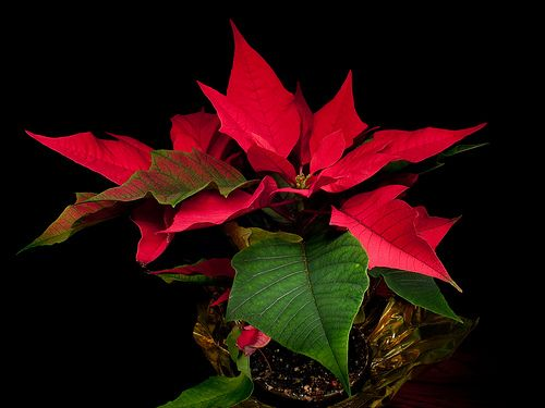 Квітка пуансеттия. Догляд за рослиною