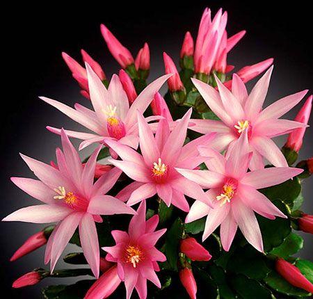 Квітка ріпсалідопсіс будинку