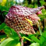 Квітка рябчик