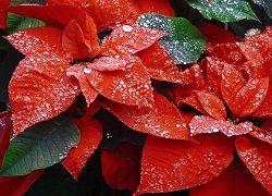 Квітка різдвяна зірка до новорічних свят
