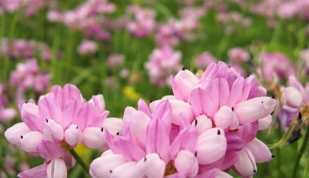 Квітучий газон