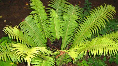 Квітку папороті - легенда чи прикраса лісу