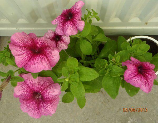 Цвітуть мої петунії з насіння і живців