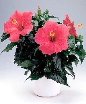 Квіти гибискуса і красиві і корисні