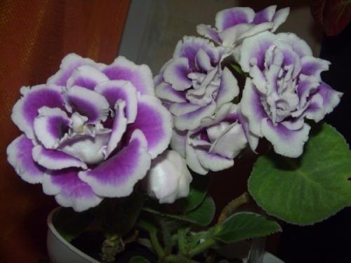 Квіти глаксінія і догляд за ними