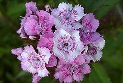 Гвоздика в якості декоративного і лікувального рослини