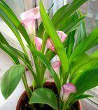 Квіти або кімнатні рослини: що піднести в подарунок коханим?
