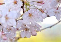 Квіти з полімерної глини: композиція з гілочок вишні