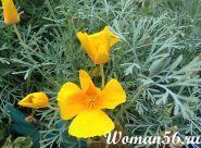 Квіти ешшольція фото