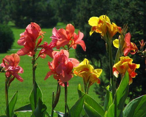 Квіти канни - екзотика саду