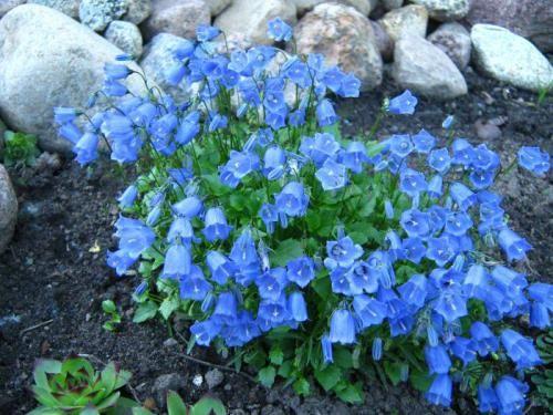 Квіти дзвіночки: краса в саду без особливого догляду