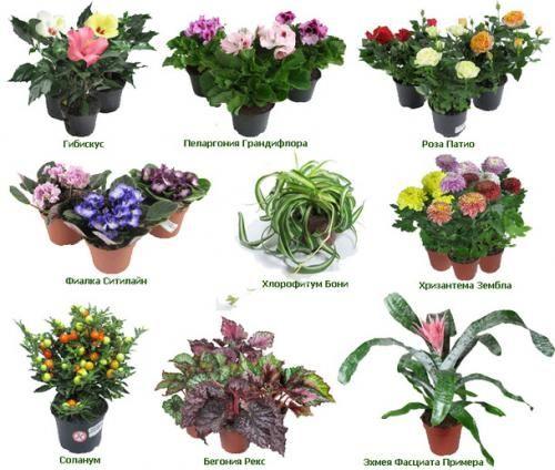 Квіти в картинках з назвами