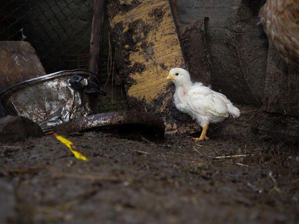 У курчат аміак дратує шкіру, може привести до сліпоти, знизить імунітет.