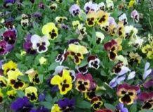 Далтонскіе квіти «завойовують» світ