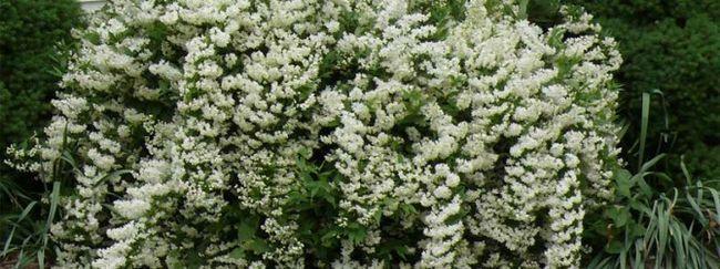 Дейция: опис квітки, догляд за дейція, розмноження