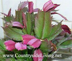 Декабрист (шлюмбергера, Зигокактус) влітку - зростання нових листя