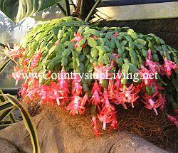 Декабрист (шлюмбергера, Зигокактус) квітка в оранжереї ботанічного саду RHS Wisley