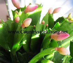 Декабрист (шлюмбергера, Зигокактус) квітка